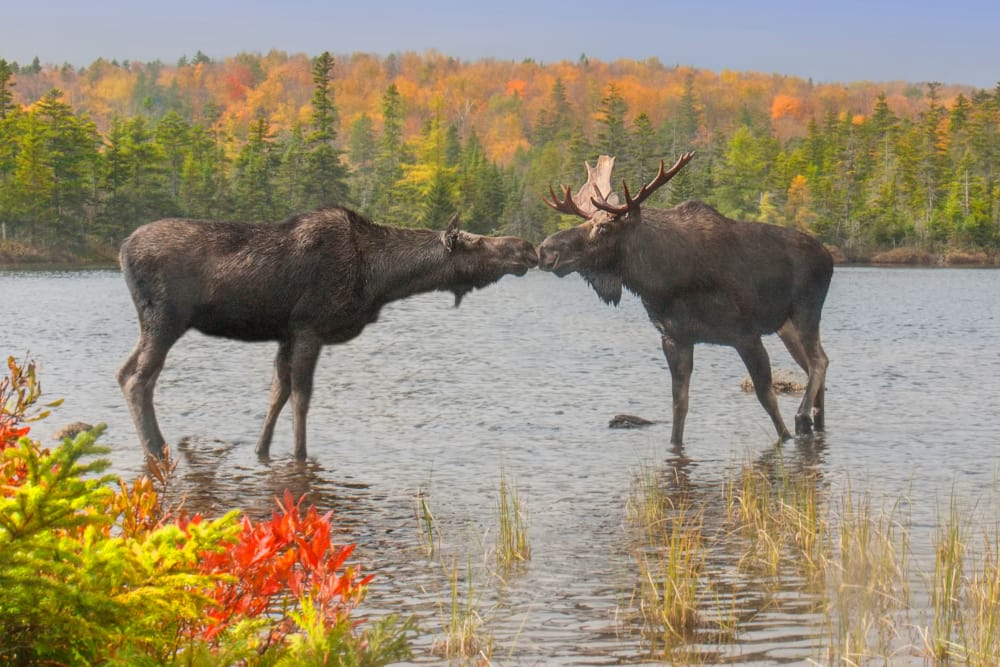 Kissing moose in Maine
