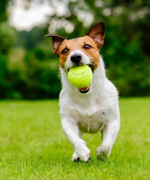 Dog enjoying playing at Deer Valley Apartment Homes in Roseville, California