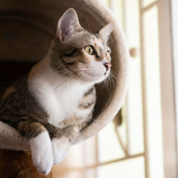 Cat sitting in a cat tree at Palmetto Greens Apartment Homes in Covington, Louisiana