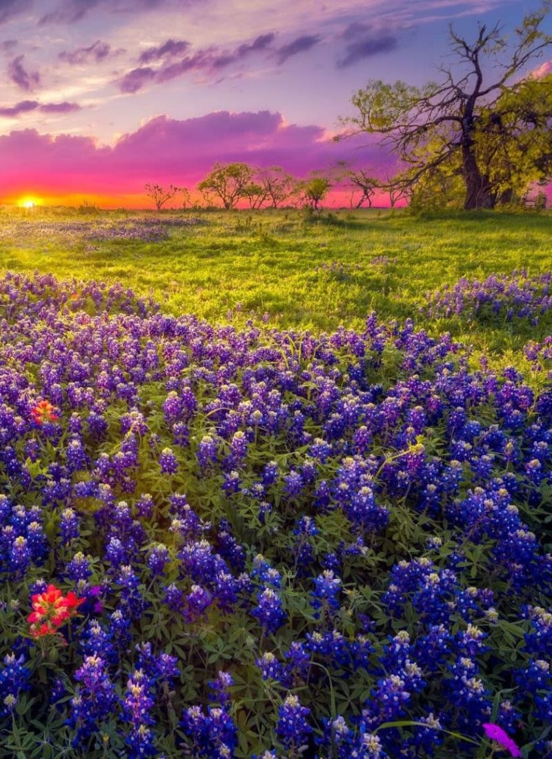 A field of bluebells at sunset near Marquis at TPC in San Antonio, Texas