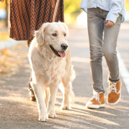 Happy dog and her owners going for a walk through the neighborhood at Olympus Woodbridge in Sachse, Texas