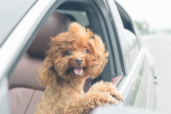 Cute puppy in the car with his head out the window in lPhoenix Arizona at Cactus Forty-2