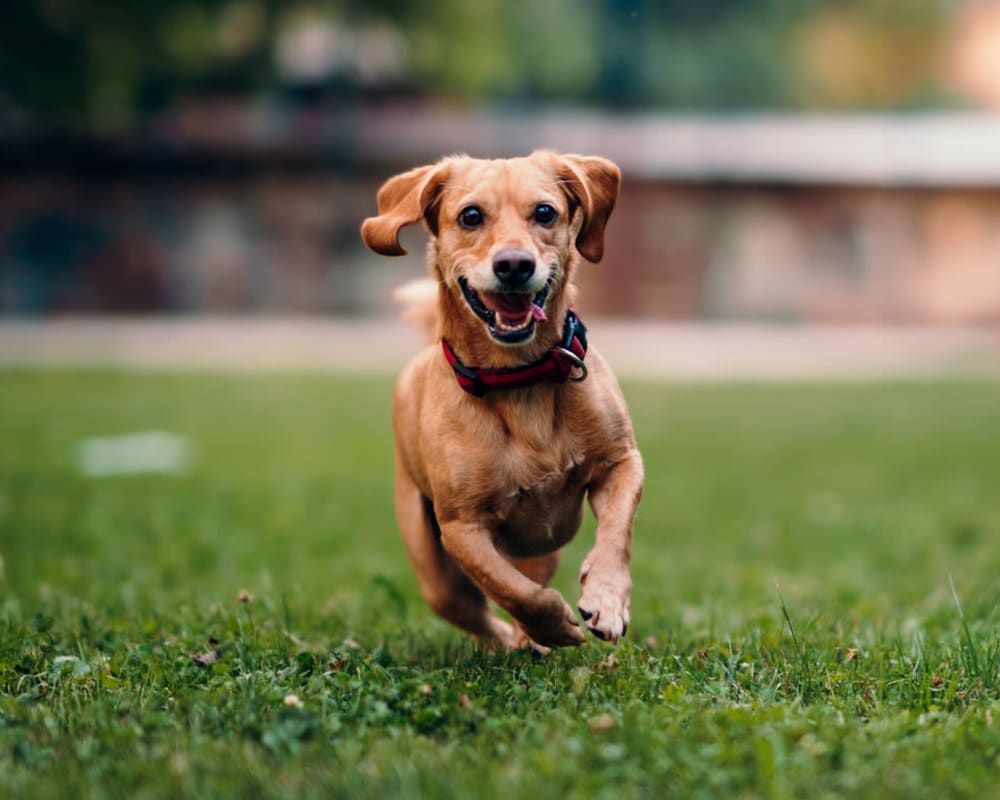 Happy dog running on the green grass at West Park Village in Los Angeles, California