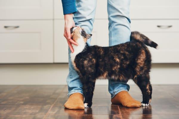Cute kitty rubbing against owners leg while getting pet in lChandler Arizona at San Hacienda