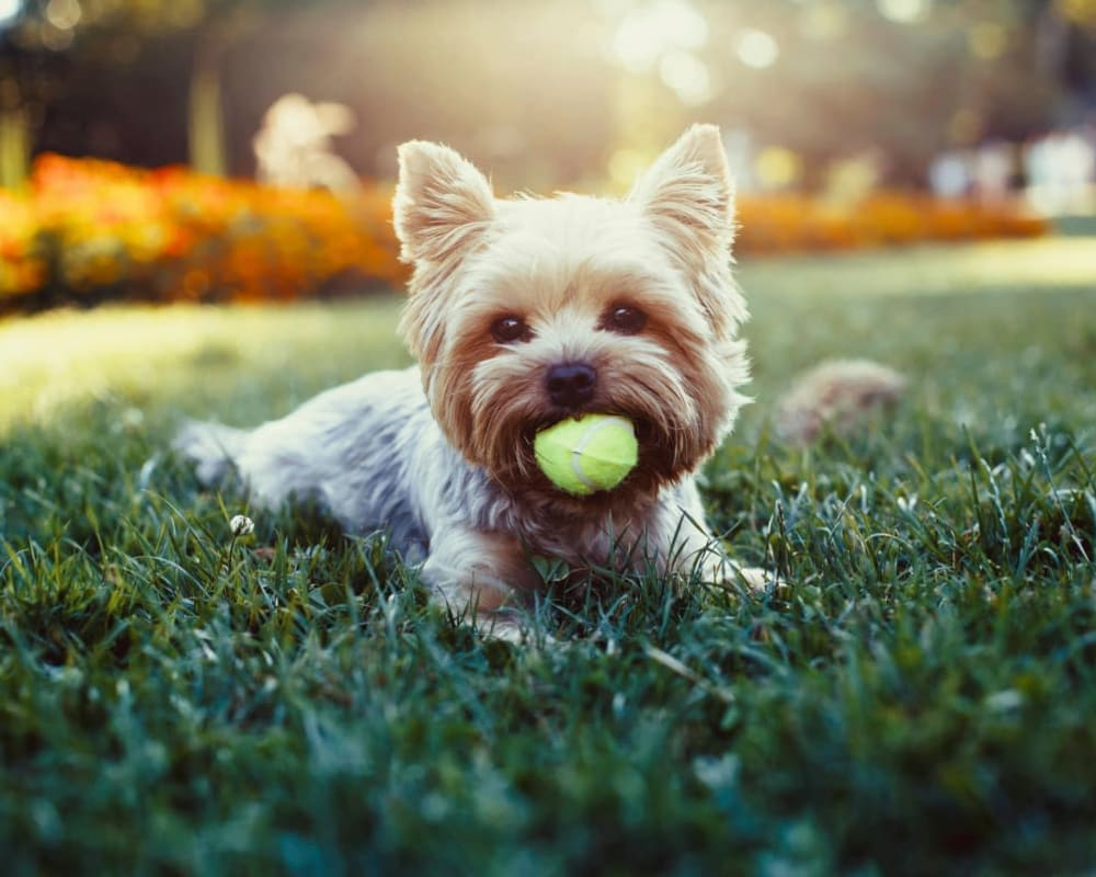 Handsome pup relaxing with his ball outside on the green grass at Onyx Winter Park in Casselberry, Florida