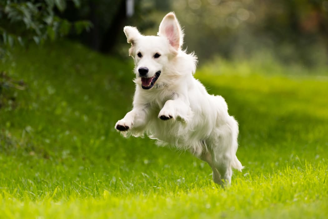 Happy dog running in the grass at Springfield Apartments in Murfreesboro, Tennessee