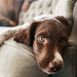 Dog laying on the couch at Avilla Paseo in Phoenix, Arizona
