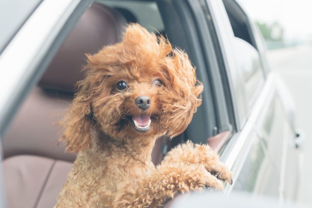 Dog in a car at Walnut Ridge Apartments in Corpus Christi, Texas