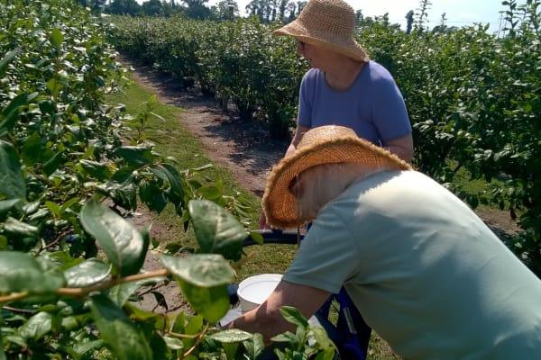Lakeside At Mallard Landing residents having fun picking blueberries
