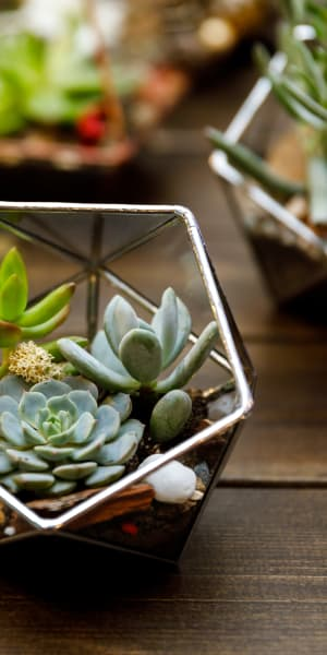 Succulents thriving on a table in a model home at Paragon at Old Town in Monrovia, California