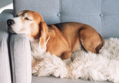Senior dog resting on a couch at Quail Park at Shannon Ranch in Visalia, California