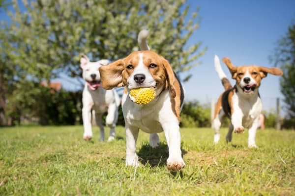 Three beagal puppies playing in Fayetteville, North Carolina