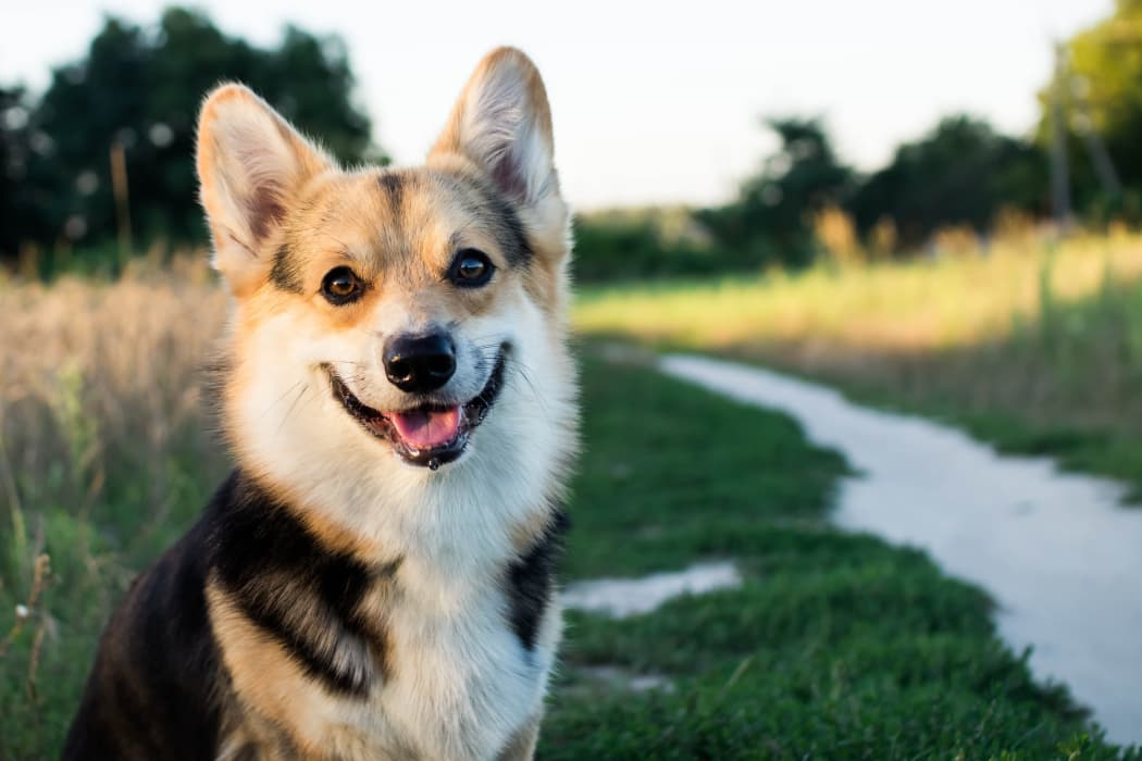 Happy Corgi at Sunchase Ridgeland Apartments in Ridgeland, Mississippi