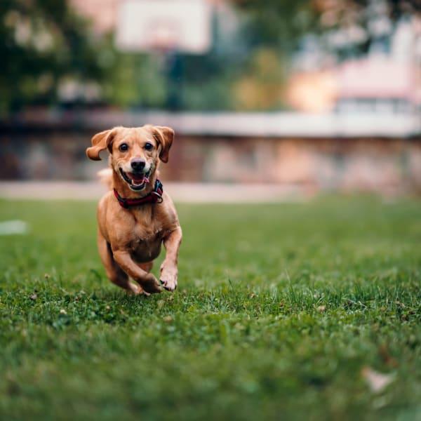 Happy dog running outside of Palmetto Greens Apartment Homes in Covington, Louisiana