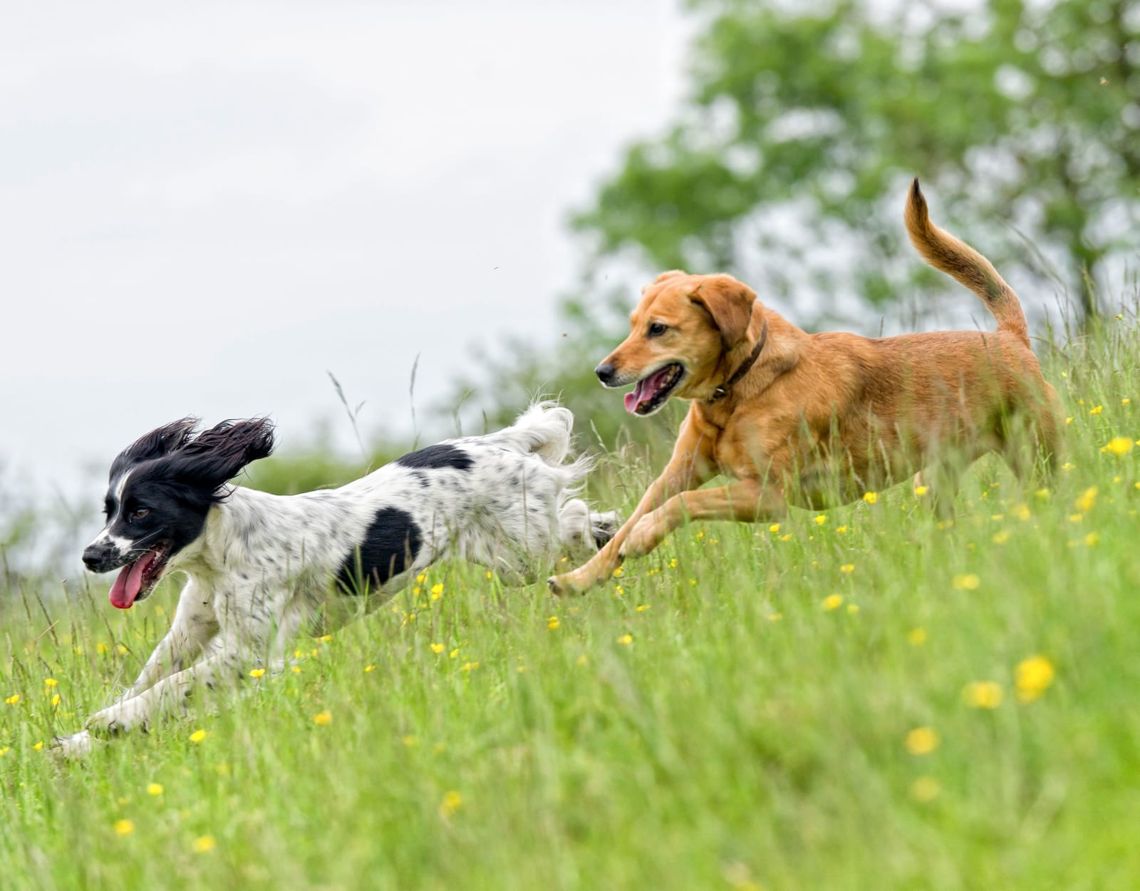 Happy dogs running through a field in Houston, Texas near Falls of Maplewood Apartments