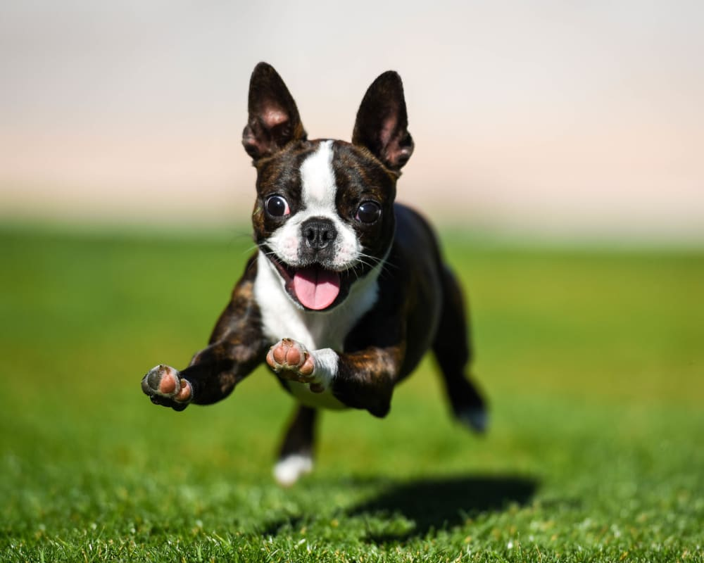 Happy dog running on the green grass outside her new home at The Hawthorne in Jacksonville, Florida