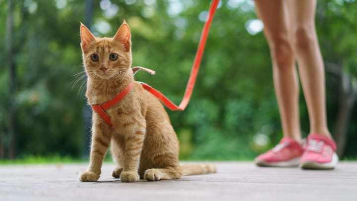 Orange cat wearing a harness and leash being held by a person