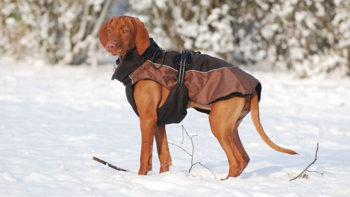 Majestic dog in a winter coat in the snow