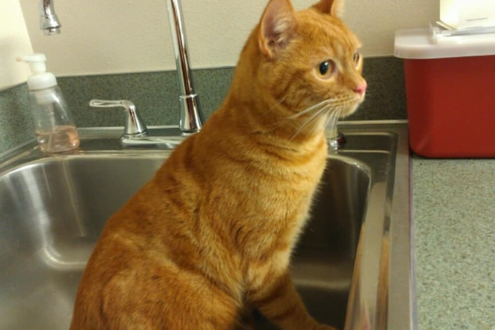 Kitty waiting for a bath at Angeles Clinic For Animals in Port Angeles, Washington