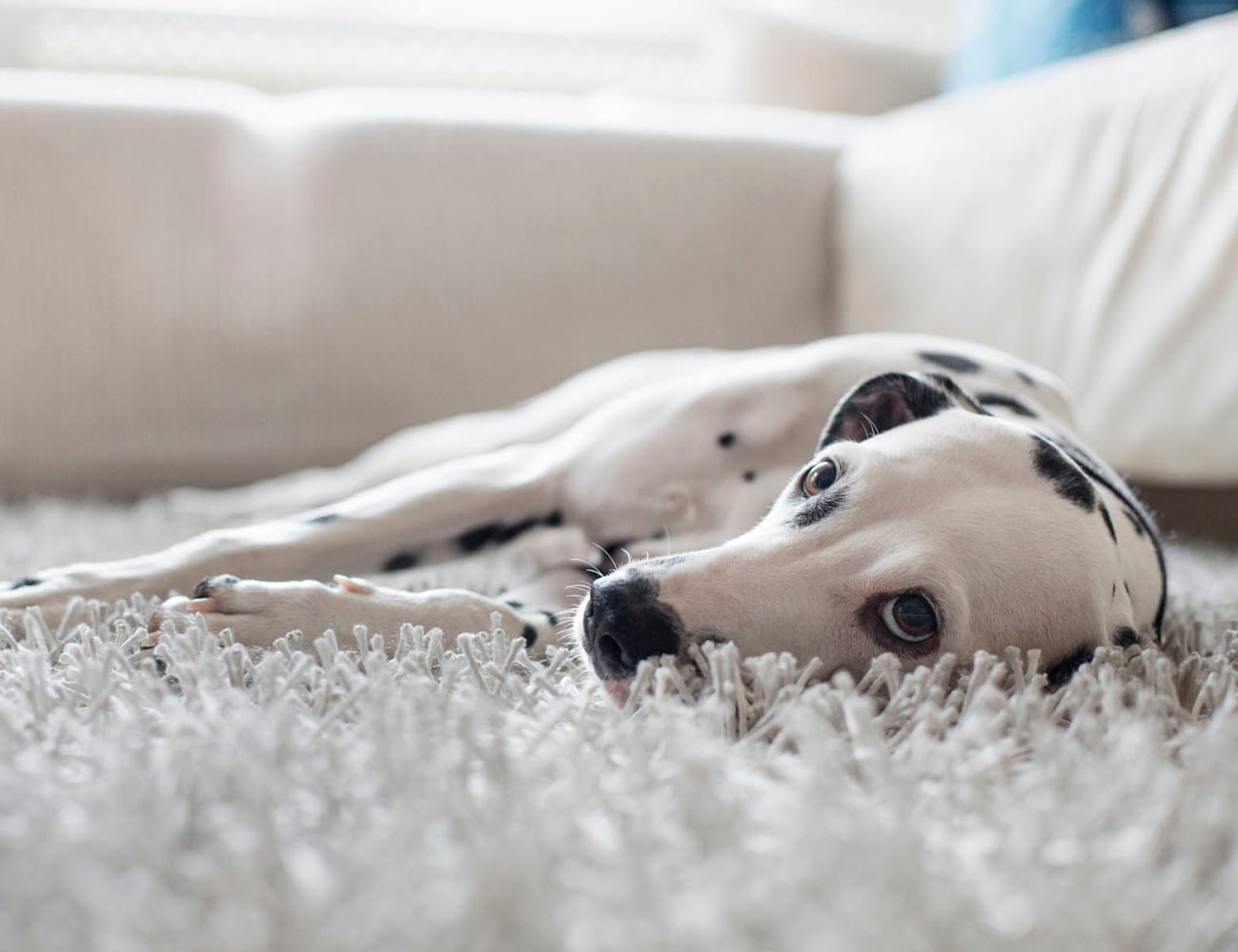 Dalmatian laying on the carpet of his new home at Royal Palms in San Antonio, Texas