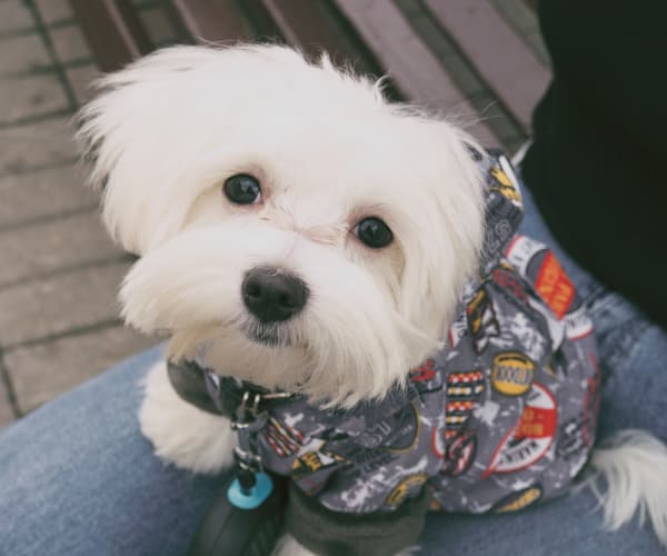 Fluffy white dog in a sweater