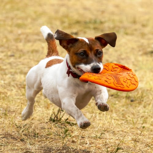 Happy dog running with his favorite toy outside at Olympus Court Apartments in Bakersfield, California