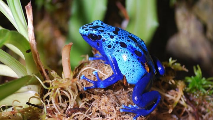 Blue poison dart frog at the Dallas World Aquarium near Olympus Las Colinas in Irving, Texas