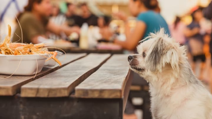 Dog eyeing a plate of shrimp at a dog-friendly restaurant near Olympus Corsair in San Diego, California
