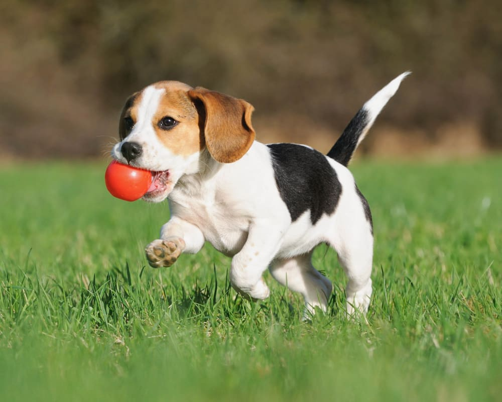 Resident pup running with a ball outside her new home at Cactus Forty-2 in Phoenix, Arizona