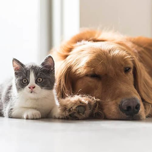 Dog and cat relaxing together in their new home at Alaqua in Jacksonville, Florida