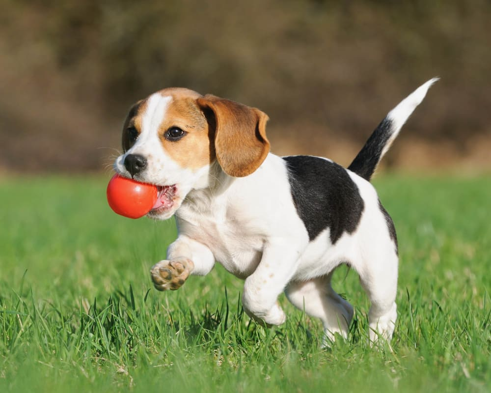 Happy pup running with his red ball outside at Olympus Hillwood in Murfreesboro, Tennessee