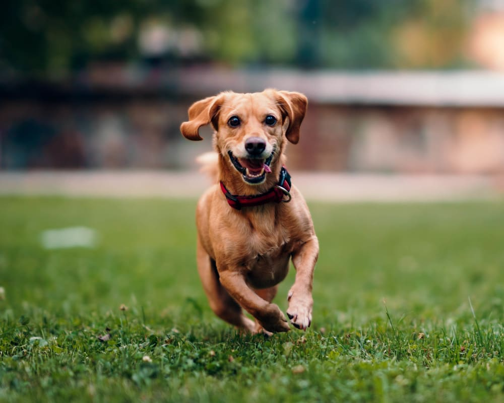 Happy dog running at one of the beautifully maintained green spaces at Olympus on Broadway in Carrollton, Texas