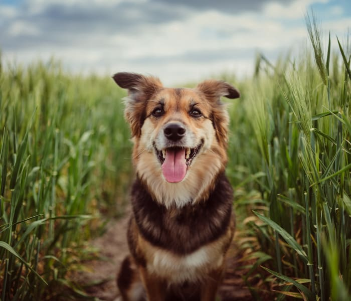 Dog sitting in a field at Enclave at Westport in Roanoke, Texas