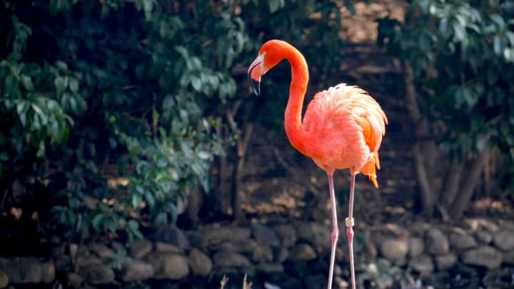 Flamingo at Houston Zoo near Olympus Grand Crossing in Katy, Texas