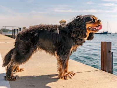Happy dog on the docks enjoying the view of the ocean at Esprit Marina del Rey in Marina del Rey, California