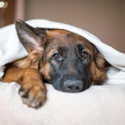 Dog under the blankets at Avilla Paseo in Phoenix, Arizona