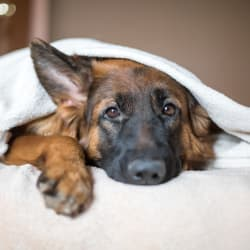 Dog under the blankets at Avilla Gateway in Phoenix, Arizona
