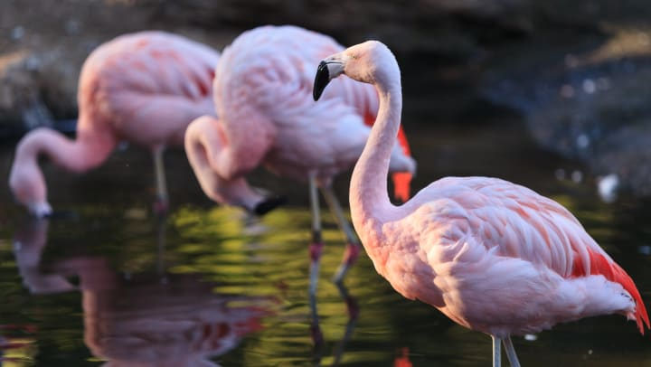 Pink flamingos wading at the Tracy Aviary near Olympus at the District in South Jordan, Utah