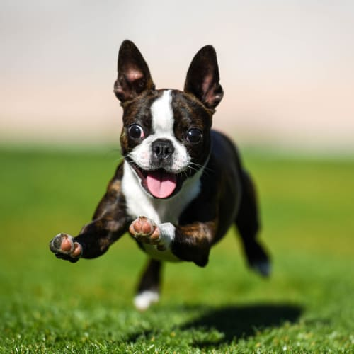 Happy dog running on the green grass outside at Vive in Chandler, Arizona