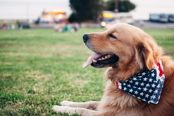 Golden Retriever with American Flag Bandanna, laying in a field, happy about pet friendly apartments at Harborside Marina Bay Apartments in Marina del Rey, California