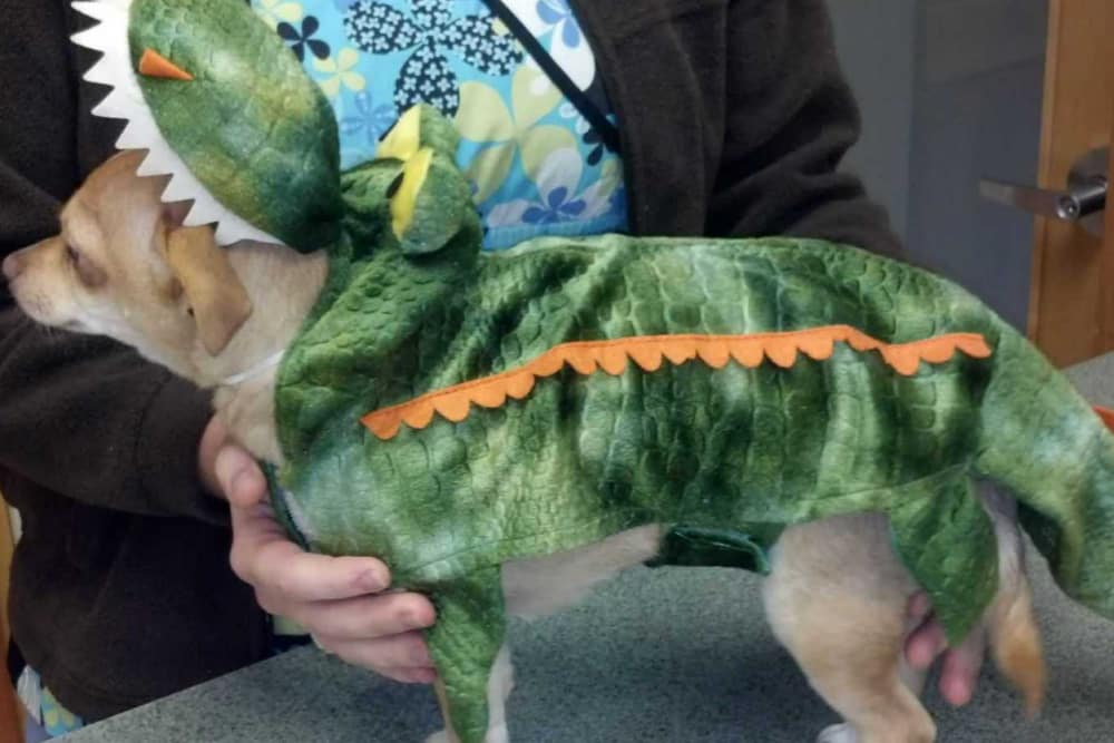 A doggy dressed as a t-rex at Angeles Clinic For Animals in Port Angeles, Washington