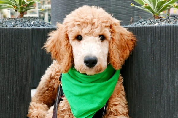 Cute labradoodle wearing a green bandanna at San Marin at the Civic Center in Scottsdale, AZ