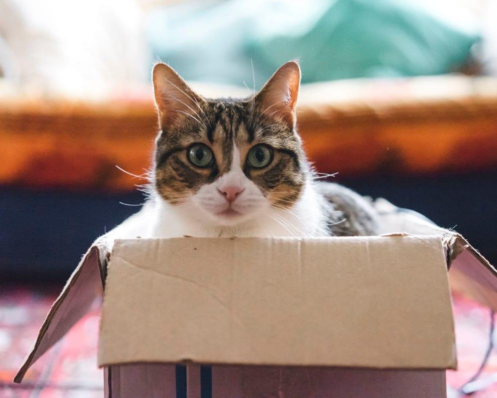 Happy cat in a box in her new home at Sendero Huntington Beach in Huntington Beach, California