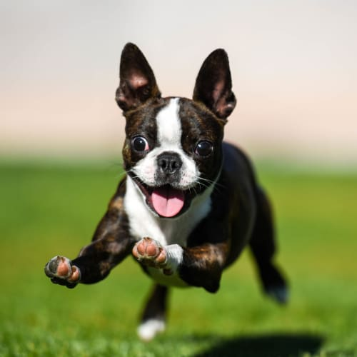 Happy dog running on the green grass outside at Sedona Ranch in Odessa, Texas