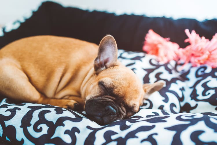 Dog sleeping at Trend! in Las Vegas, NV