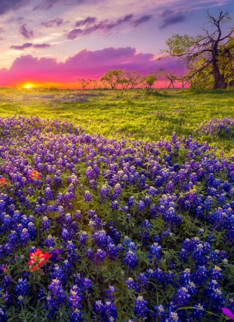 Beautiful bluebells near Marquis at The Woodlands in Spring, Texas