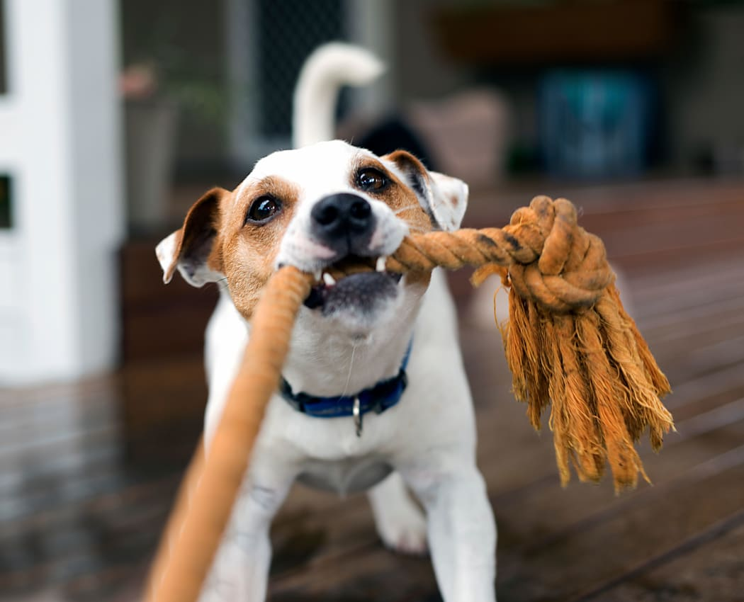 Dog playing with a rope toy at Oak Pointe Apartments in Fremont, California