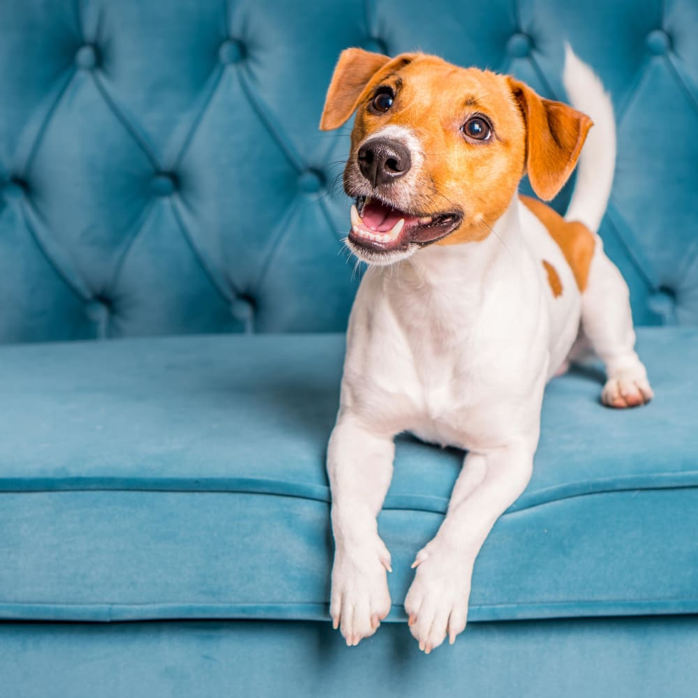Adorable puppy sitting on a couch at The Residences at Sawmill Station pet friendly apartments in Morton Grove, Illinois