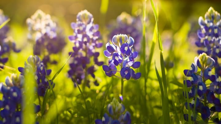 Lupine flowers backlit by sunshine in a field in a blog article on our website at Olympus Boulevard in Frisco, Texas.