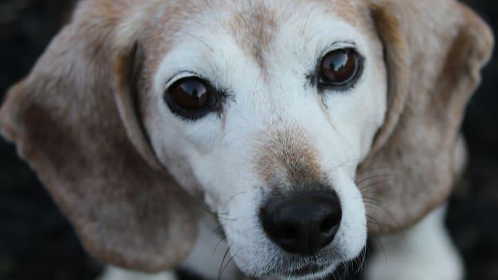 Senior rescue dog at Elevation Chandler in Chandler, Arizona